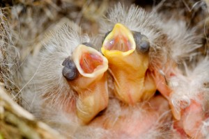 house-finch-chicks3