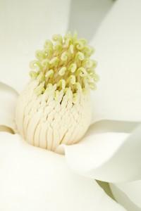 magnolia-4481