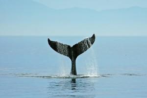 whale fluke 078