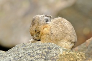 Praying Pika