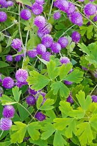 Monticello flowers 52