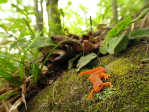 Red eft in Vermont