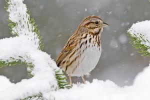 sparrow 385
