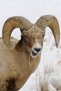 bighorn sheep 162