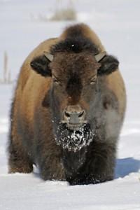 bison 031