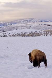 bison 154