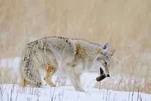 coyote 191