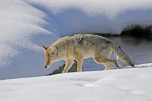 coyote 998
