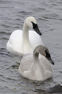 trumpeter swans 307
