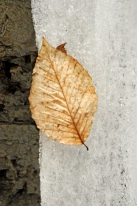 leaf on ice 605