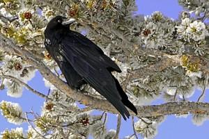 raven 380