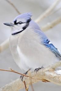 bluejay 578