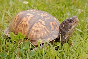 box turtle 263