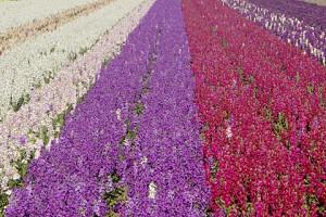 flowers 650