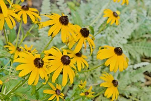 black-eyed susans 465