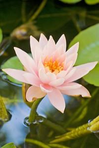 lotus 445