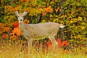 CVSP deer 704