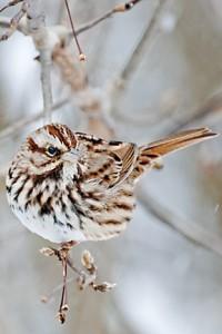 sparrow 454