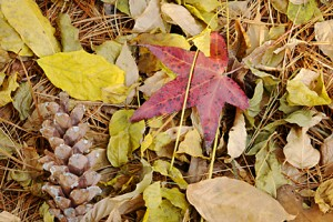sweetgum leaf 399