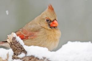 cardinal 969