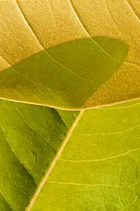 magnolia leaves 234