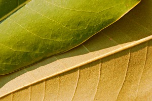 magnolia leaves 239