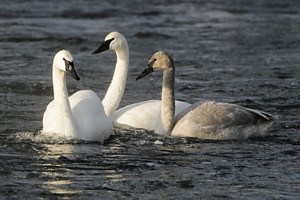 trumpeter swans 504