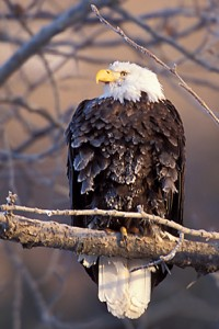 Lone eagle on branch 4