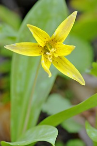 trout lily 979