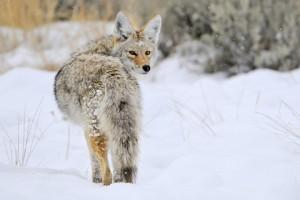 coyote 153