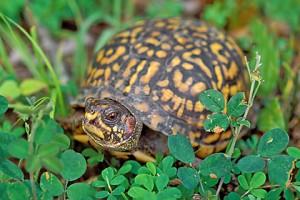 turtle 1 cr