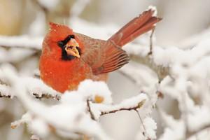 cardinal 1768