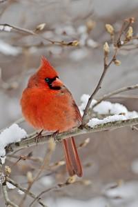 cardinal 387
