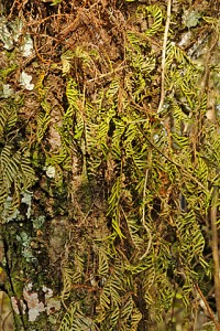 resurrection fern 703