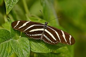 zebra 554