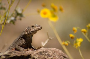 Chuckwalla, Joshua Tree National Park, California