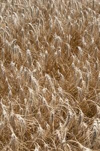 wheat 4946