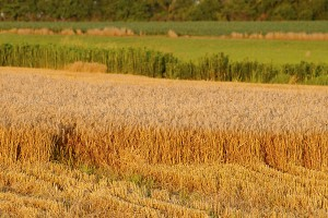 wheat field 5161