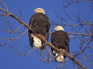 Dual Eagles 4