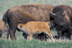 bison and calf cr