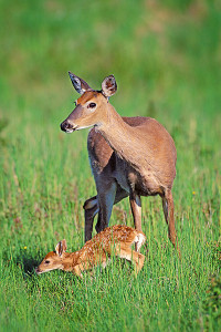 whitetail doe and fawn book (v) cr
