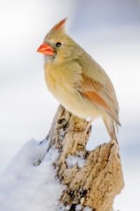 flipped cardinal